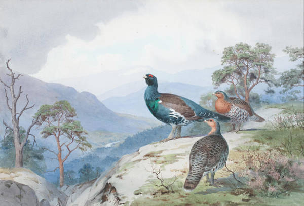 Wall Art - Painting - Above The Forest, Capercaillie And Grouse by John Cyril Harrison