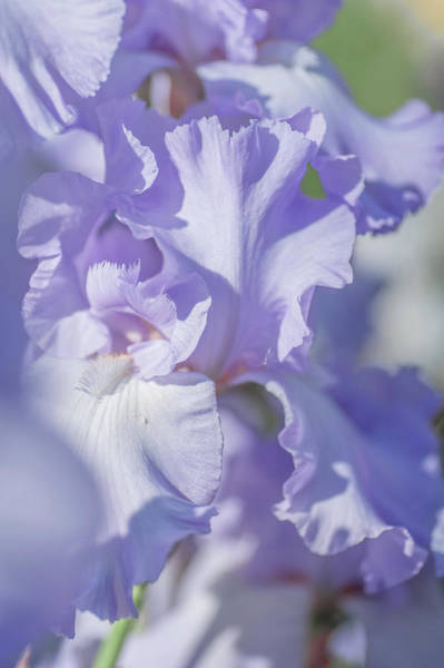Wall Art - Photograph - Absolute Treasure Closeup 2. The Beauty Of Irises by Jenny Rainbow
