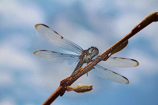 Photograph - Abstract Dragonfly by Cynthia Guinn