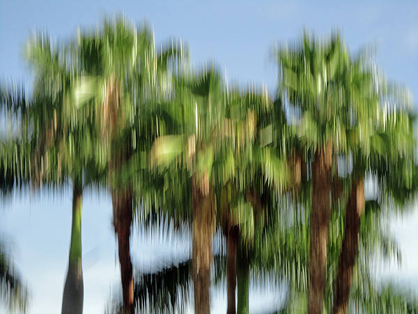Photograph - Abstract Florida Royal Palm Trees by Juergen Roth