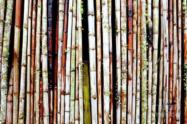 Photograph - Abstract Nature Bamboo Shoots Photo 806 by Ricardos Creations