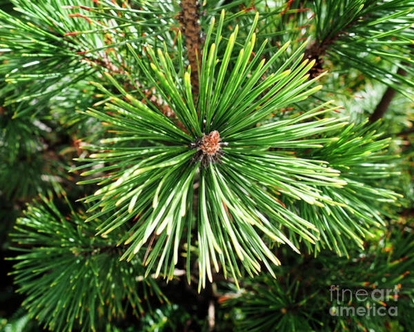 Photograph - Abstract Nature Green Pine Tree Macro Photo 210  by Ricardos Creations
