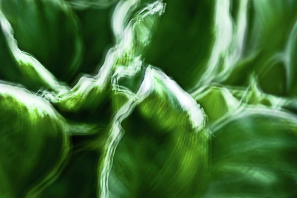 Photograph - Abstract Of Variegated Hosta Leaves by Onyonet Photo Studios