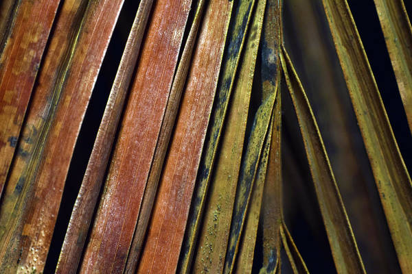 Photograph - Abstract Palm Frond by Larah McElroy
