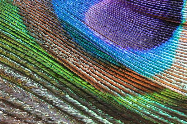 Photograph - Abstract Peacock Feather by Angela Murdock