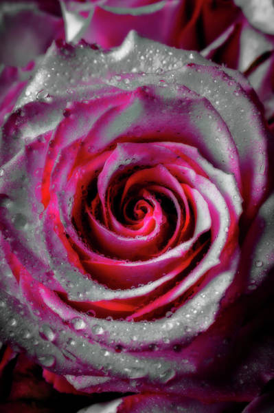 Wall Art - Photograph - Abstract Pink White Rose by Garry Gay