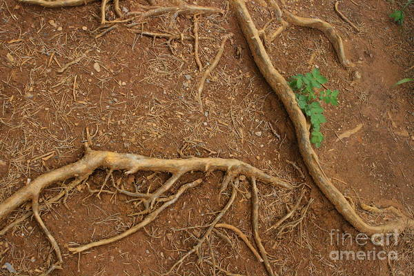 Photograph - Abstract Roots by Mary Mikawoz