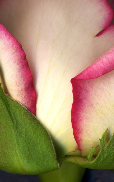 Photograph - Abstract Rose by Marilyn Hunt
