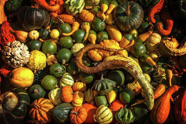 Cucurbitaceae Photograph - Abundant Harvest Of Gourds Display by Jenny Rainbow
