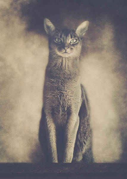 Wall Art - Photograph - Abyssinian Cat Portrait 2 by Wolf Shadow Photography