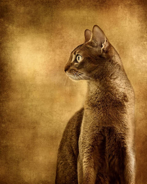 Wall Art - Photograph - Abyssinian Cat Portrait 3 by Wolf Shadow Photography