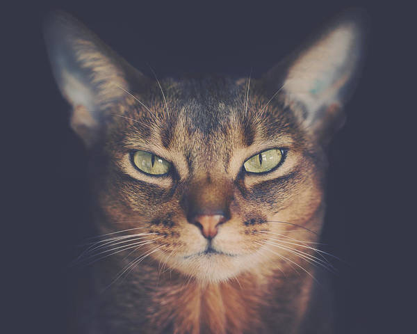 Wall Art - Photograph - Abyssinian Cat Portrait by Wolf Shadow Photography