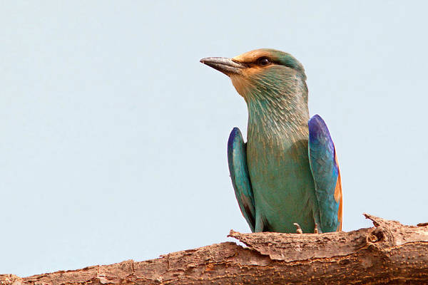 Photograph - Abyssinian Roller by Aivar Mikko