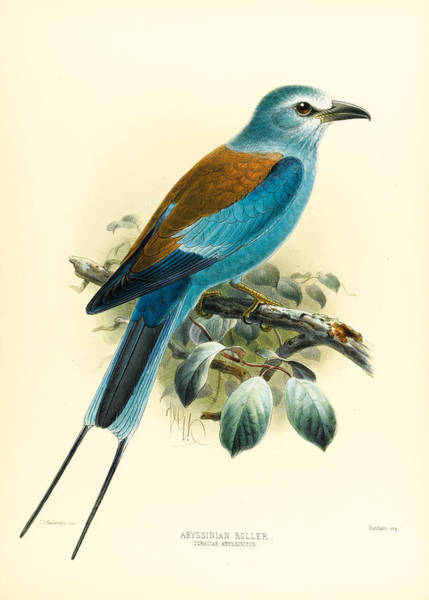 Drawing - Abyssinian Roller. Coracias Abyssinicus by John Gerrard Keulemans