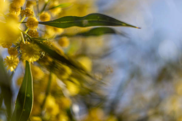 Wall Art - Photograph - Acacia by Stelios Kleanthous