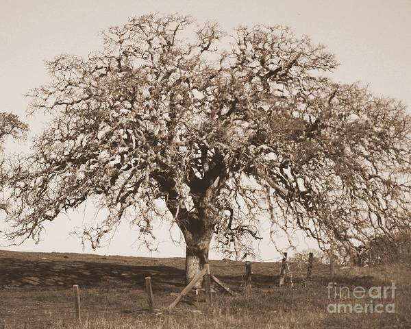 Photograph - One California Oak Tree In Sepia by Carol Groenen
