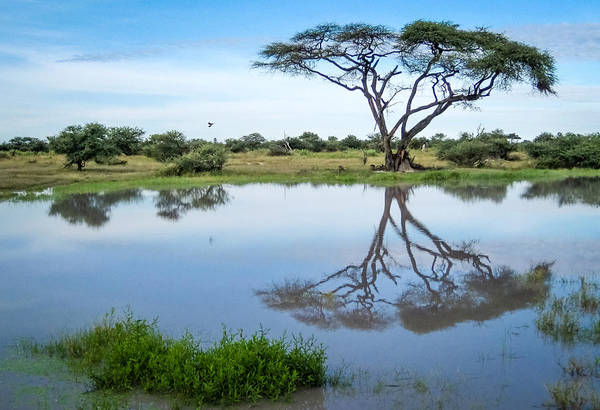 Photograph - Acacia Tree Reflection by Gregory Daley  MPSA