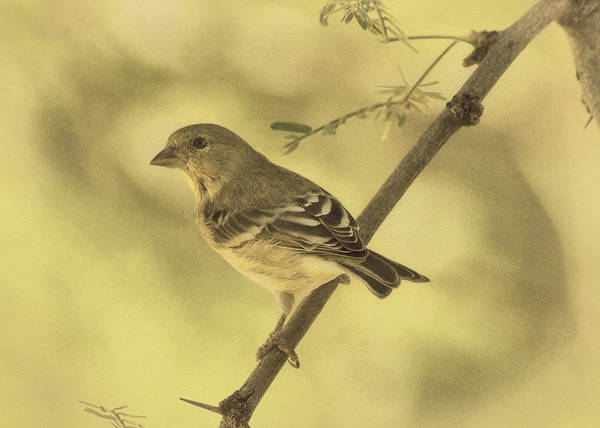 Photograph - Acacia With Lesser Goldfinch Des by Theo O'Connor