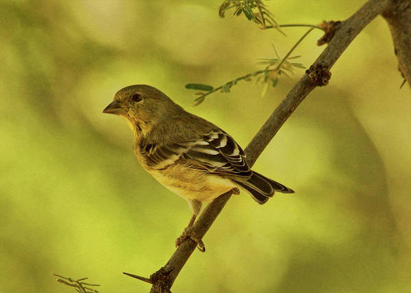 Photograph - Acacia With Lesser Goldfinch by Theo O'Connor