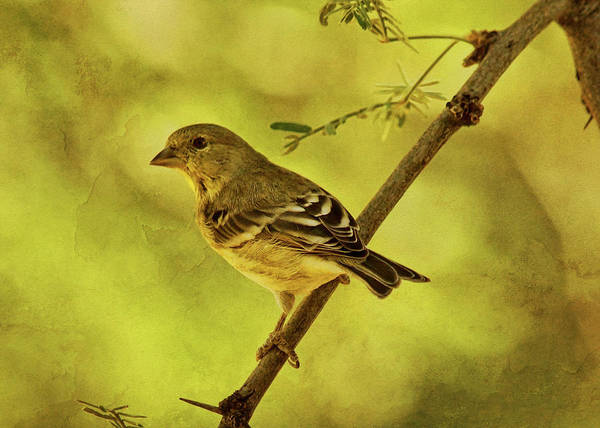 Photograph - Acacia With Lesser Goldfinch Txt by Theo O'Connor