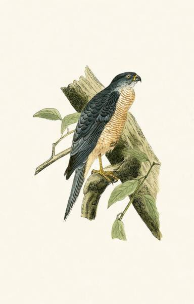 Ornithological Wall Art - Painting - Accipiter Sphenurus by English School