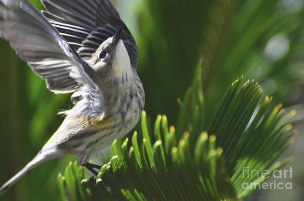 Yellow-rumped Warbler Photograph - Accomplishment by Debby Pueschel