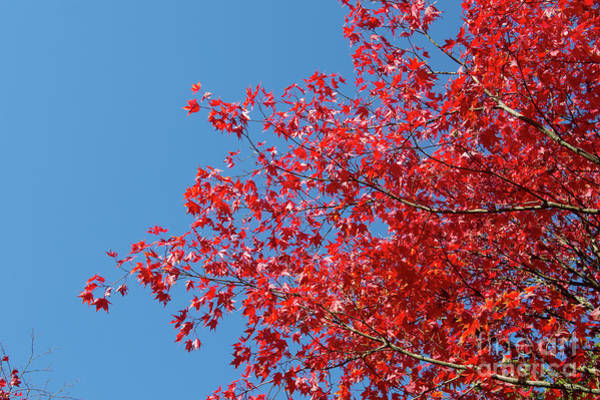 Wall Art - Photograph - Acer Palmatum Amoenum by Tim Gainey