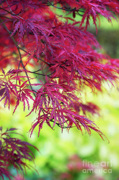 Wall Art - Photograph - Acer Palmatum Dissectum Inaba Shidare  by Tim Gainey