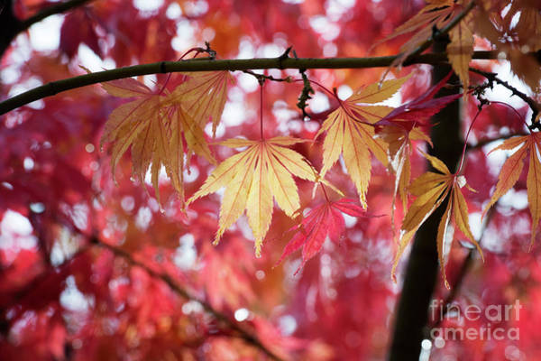 Wall Art - Photograph - Acer Palmatum Elegans Foliage by Tim Gainey