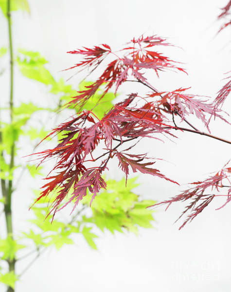 Wall Art - Photograph - Acer Palmatum Fissectum Firecracker by Tim Gainey
