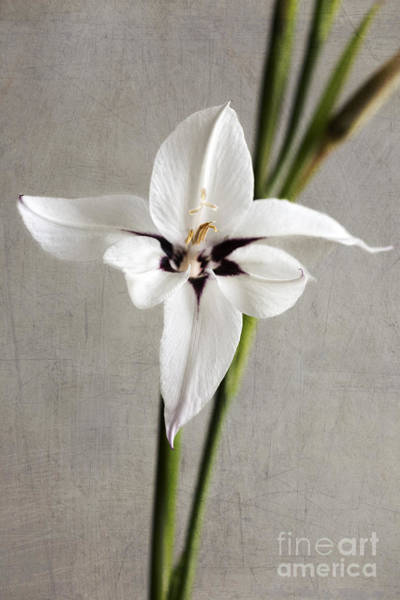 Wall Art - Photograph - Acidanthera by Elena Nosyreva