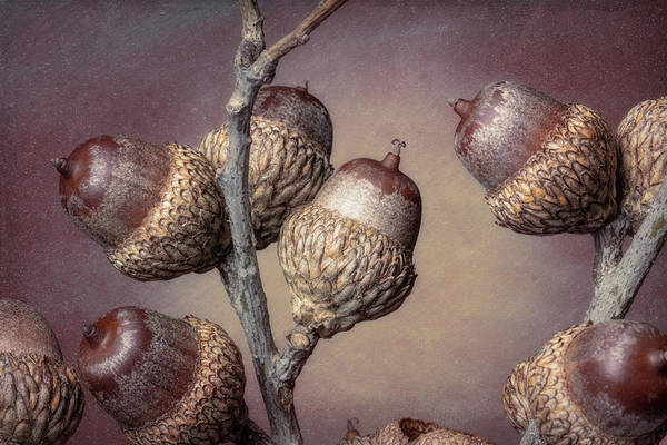 Oak Photograph - Acorn Branch by Tom Mc Nemar