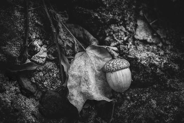 Oak Photograph - Acorn by Tom Mc Nemar