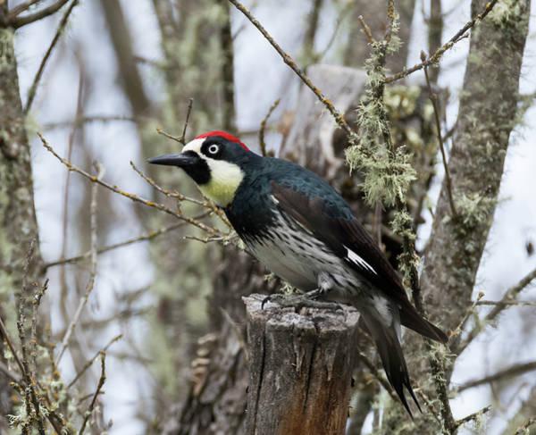 Photograph - Acorn Woodpecker by Loree Johnson