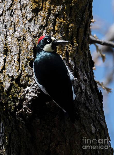 Acorn Wall Art - Photograph - Acorn Woodpecker by Mike Dawson