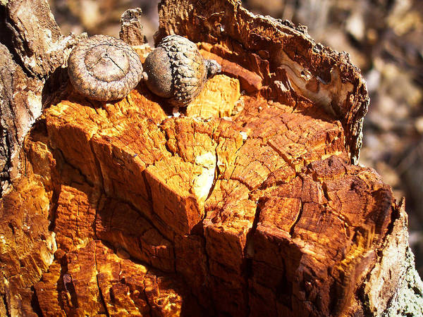 Wall Art - Photograph - Acorns - The Cycle Of Life Continues  by Shawna Rowe
