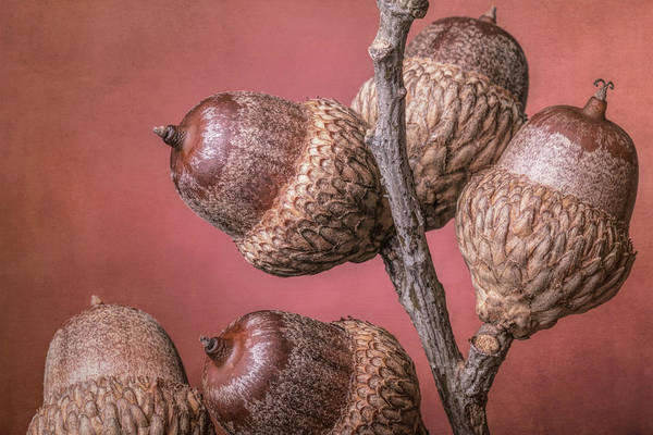 Oak Photograph - Acorns by Tom Mc Nemar