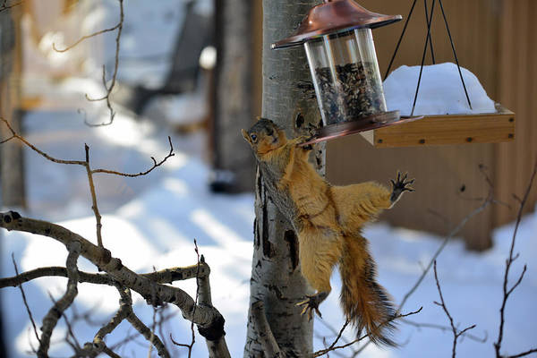 Photograph - Acrobatic Squirrel by Matt Swinden