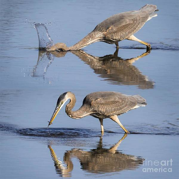 Photograph - Action Shot - Great Blue Heron by Ricky L Jones