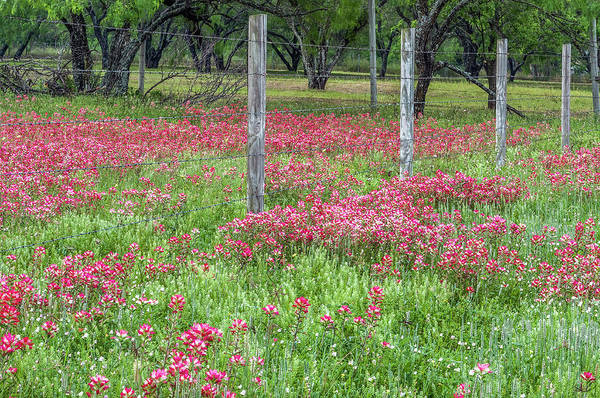Photograph - Adding A Splash Of Color-indian Paintbrush In Texas by Usha Peddamatham
