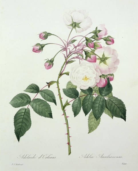 Beautiful Drawing - Adelia Aurelianensis by Pierre Joseph Redoute