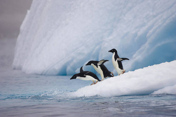 Photograph - Adelie Penguin Trio Diving by Suzi Eszterhas
