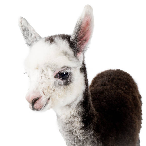 Adorable Baby Alpaca Cuteness Art Print