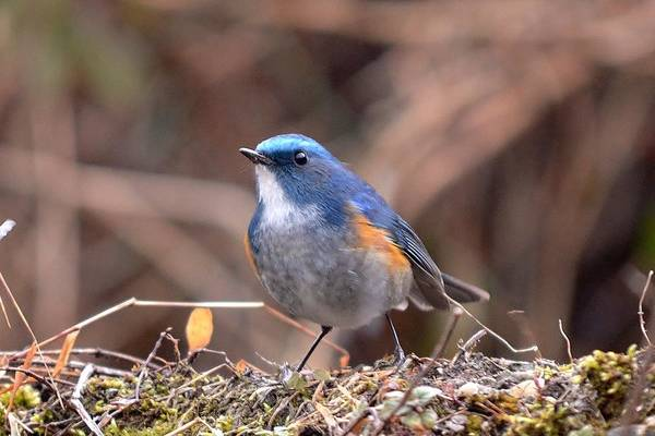 Photograph - Adorable Blue Bird - Himalayas by Kim Bemis
