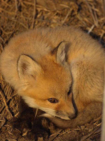 Photograph - Adorable Fox Kit by James Peterson