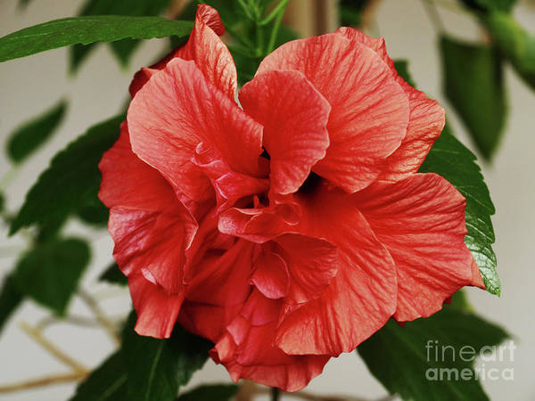 Wall Art - Photograph - Adorable Hibiscus by Jasna Dragun