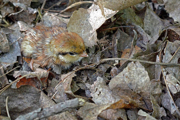 Wall Art - Photograph - Adorable Ruffed Grouse Chick by Asbed Iskedjian