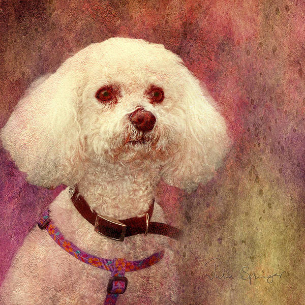 Adoration - Portrait Of A Bichon Frise  Art Print