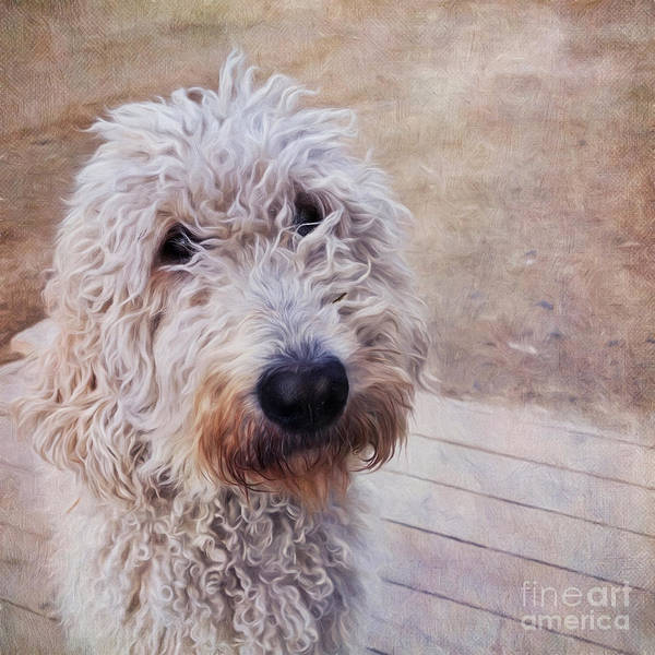 Wall Art - Photograph - Myrtle The Pudel by Priska Wettstein