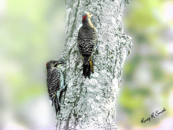 Northern Flicker Digital Art - Adult And A Young Northern Flicker. by Rusty R Smith